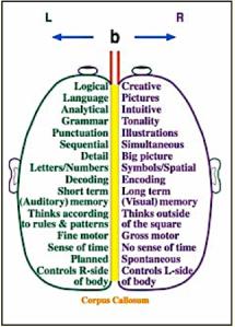 Sbrain hemespheres
