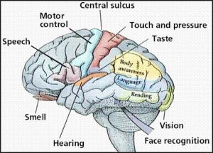 brain & senses