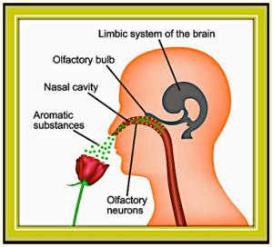 olfactory circuit